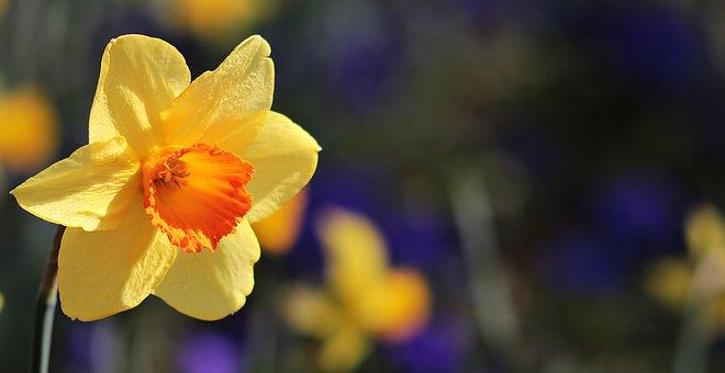 花, 自然, 植物, 庭, 成長, 色, 明るい, ラッパスイセン, シーズン