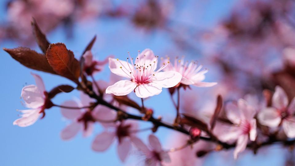 Los Cerezos En Flor Kirschblume Foto Gratis En Pixabay