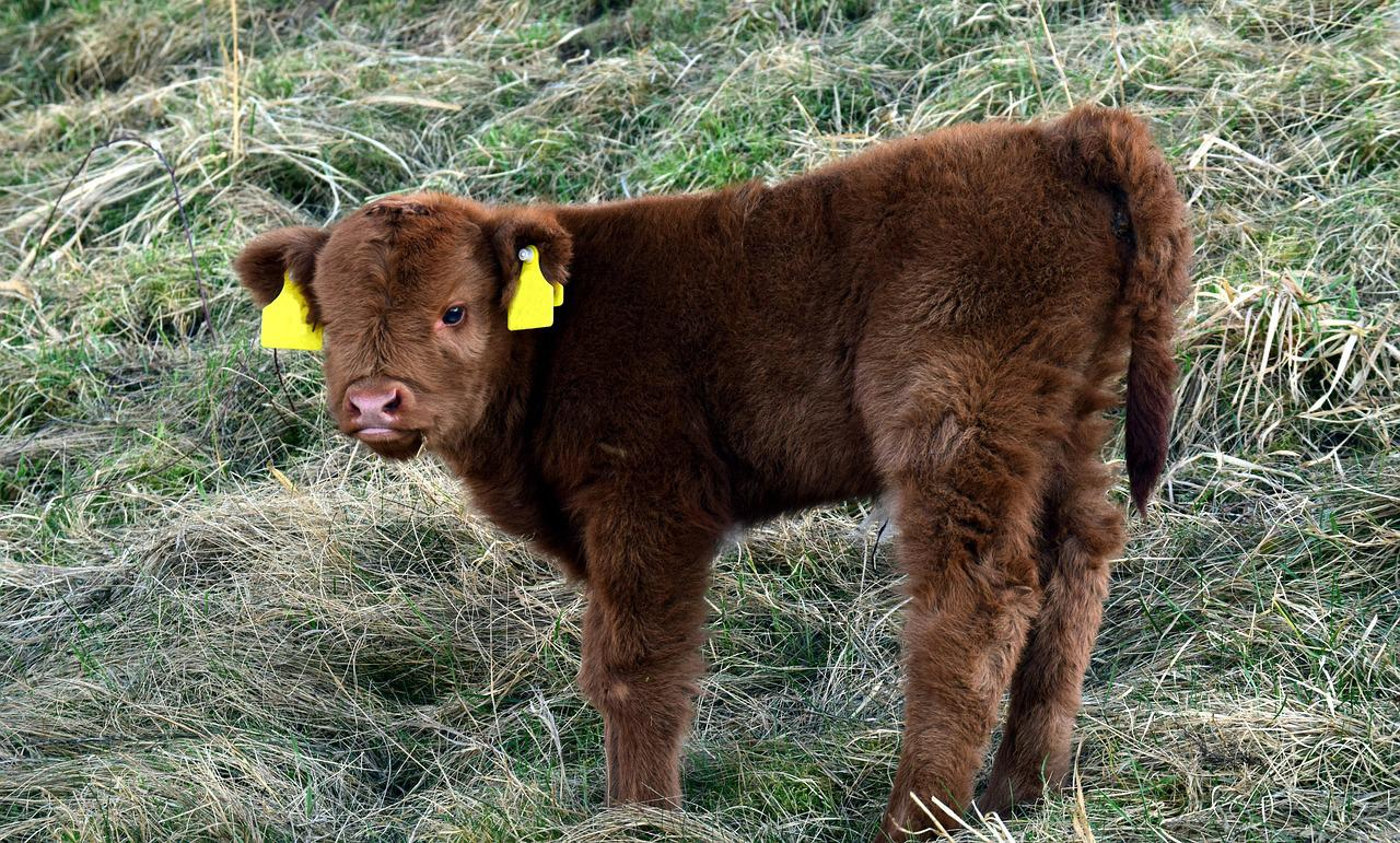 There are a type of 'fluffy' cows which are especially created by mixing high quality breeds for bovine-show business.