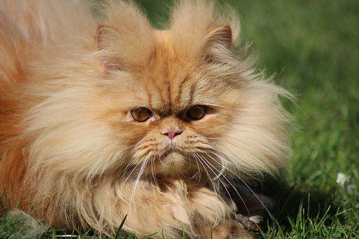 Persian Cat Images Pixabay Download Free Pictures