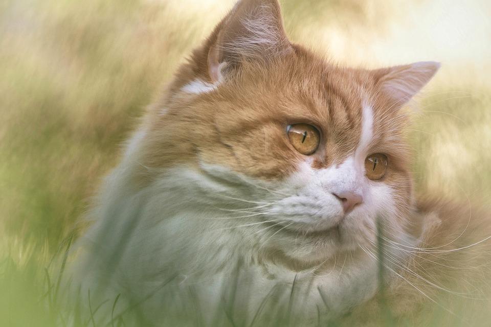 Bez vlasov mačička obrázky
