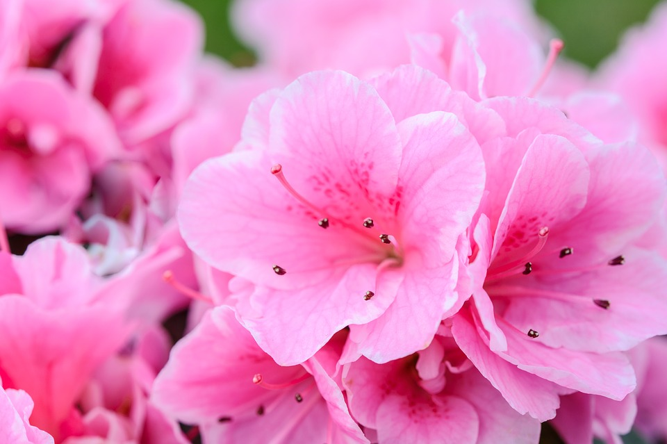 Pink Flowers Flower Nature Free Photo On Pixabay