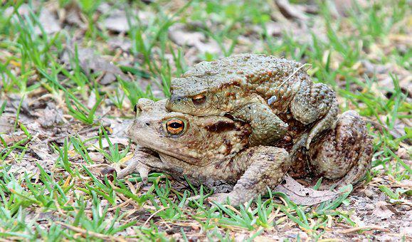 Toads, Nature, Animal, Animal World