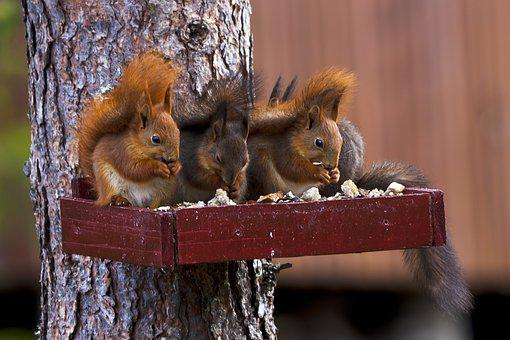 Three, Squirrel, Pine