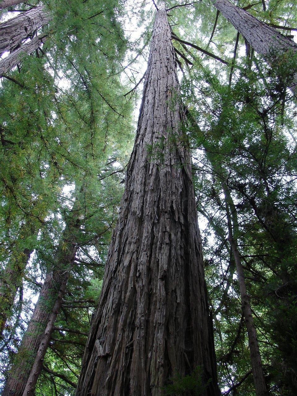 такие венге дерево фото растет милые