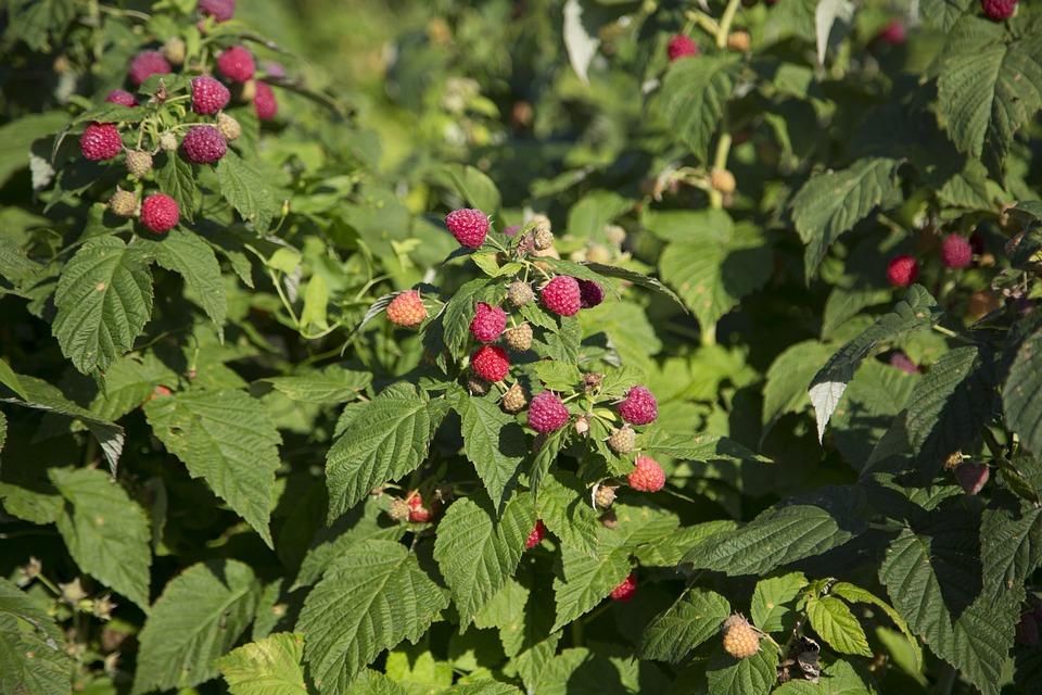 como plantar framboesas