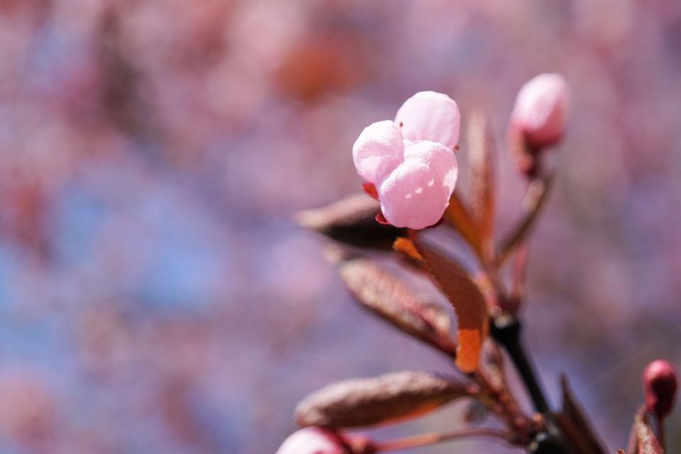 Brote Los Cerezos En Flor Foto Gratis En Pixabay