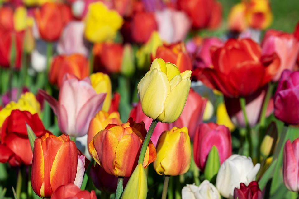 Tulipano, Giallo, Tumore Giallo, Tulipani, Tulpenbluete