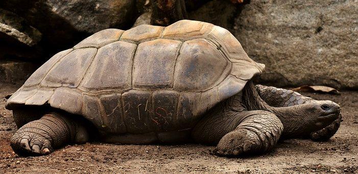 Giant Tortoises, Animals, Water, Panzer