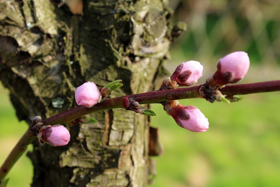 Drzewo Pączki Wiosna - Darmowe zdjęcie na Pixabay