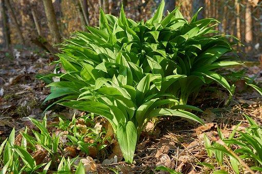 Bärlauch, Allium Ursinum, Waldknoblauch
