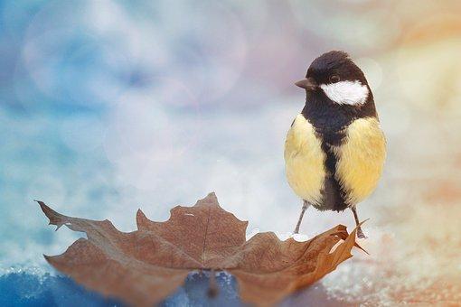 Vogel, Natur, Tierwelt, Kohlmeise