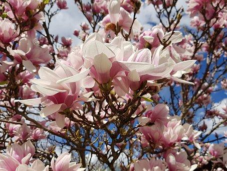 Magnólie, Květ, Pružina, Květina, Růžový