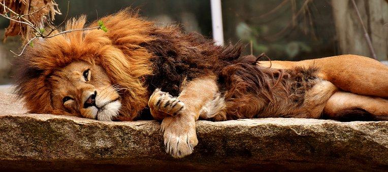 Lion, Predator, Sleep, Dangerous, Mane