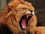 lew, drapieżnik, grzywa