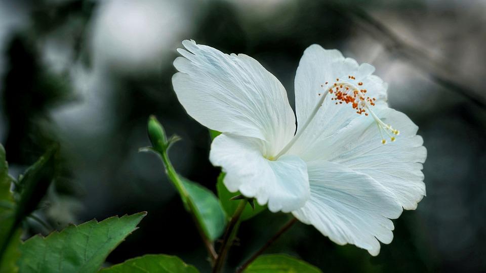 Chinese Hibiscus White Free Photo On Pixabay