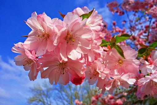 Japanese cherry blossom images pixabay download free pictures cherry blossom flower cherry tree mightylinksfo