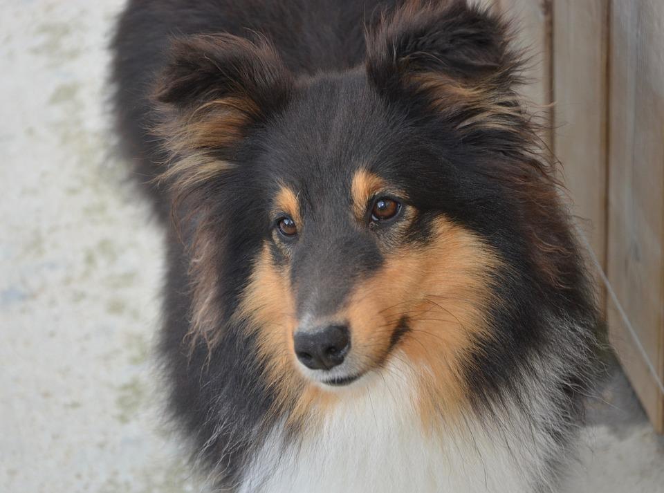Fantastic Icelandic Sheepdog Canine Adorable Dog - dog-3320072_960_720  Photograph_508075  .jpg