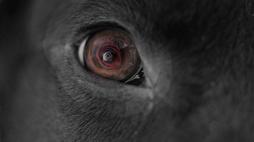 Pies, Oczy, Rose, Pet, Głęboko, Czerwony, Czarny, White