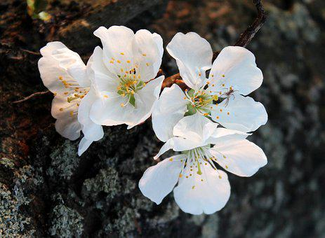 Sad images pixabay download free pictures cherry sad flowering trees spring thecheapjerseys Images
