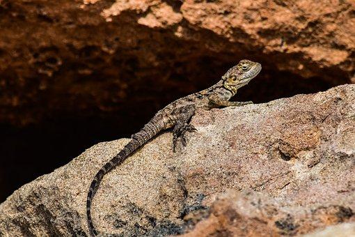 Stellagama Stellio Cypriaca, Lizard