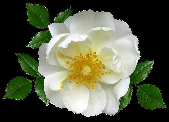 FlowerWhiteRoseBlossomC2B7FreePhotoOnPixabay