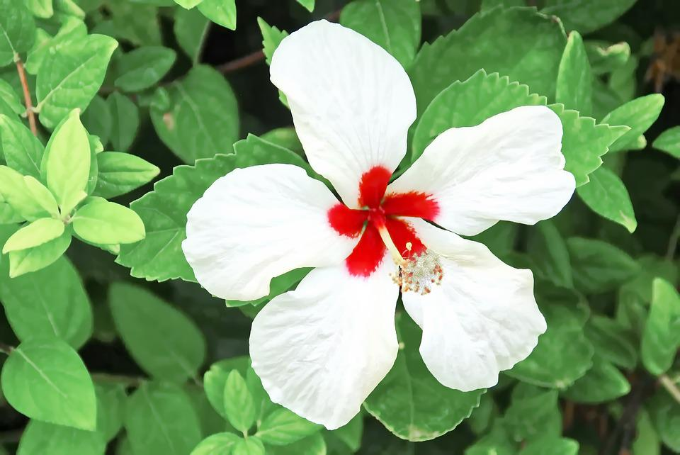 Hibiscus Pollination Flower White Free Photo On Pixabay