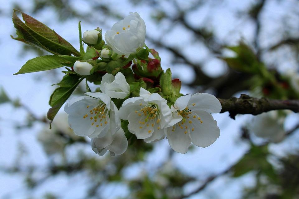 Cherry sad spring flowering free photo on pixabay cherry sad spring flowering trees fruit trees mightylinksfo