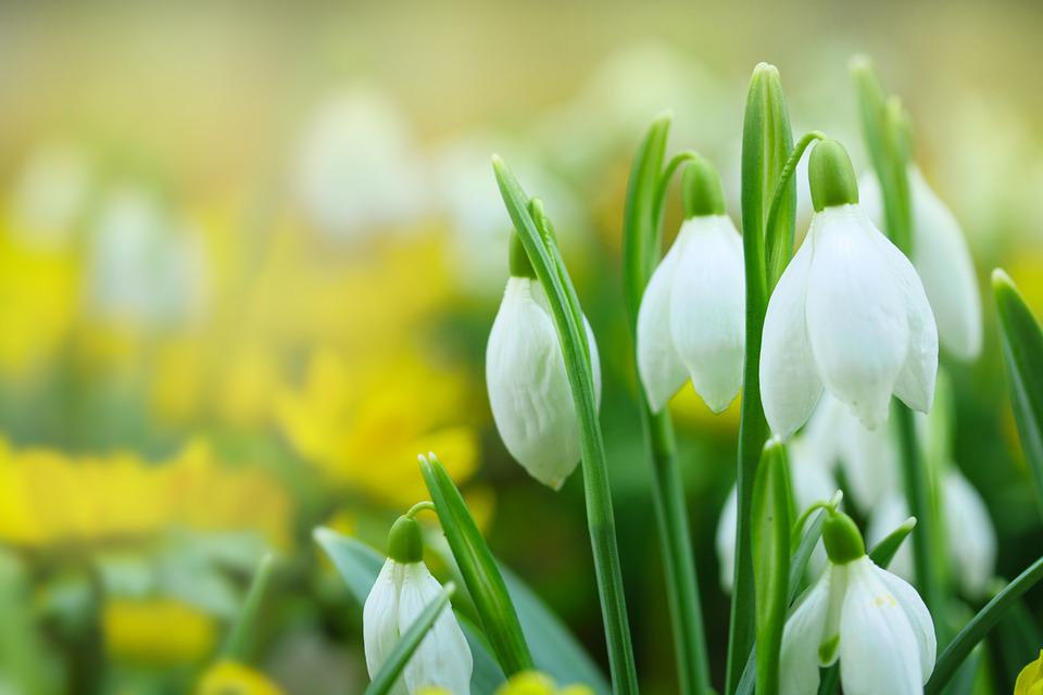 Snowdrops white flowers spring free photo on pixabay snowdrops white flowers spring flower bulbs mightylinksfo