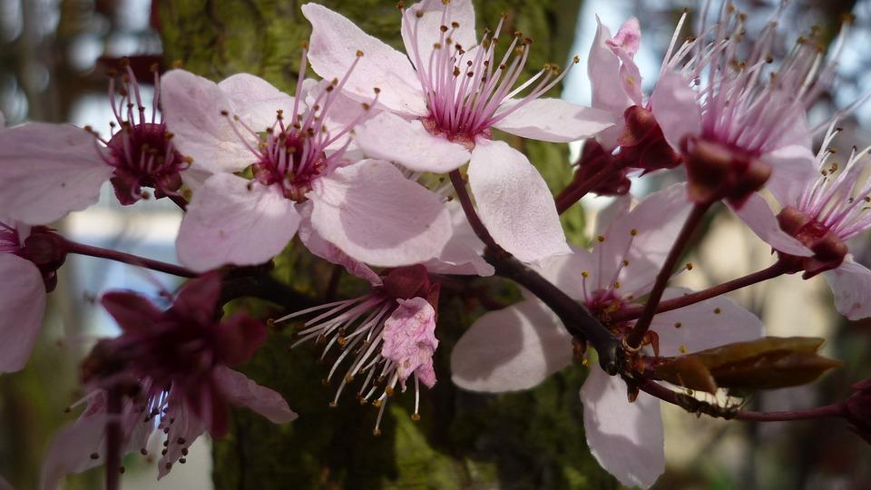 Ornamental tree flowers bright free photo on pixabay ornamental tree flowers bright pink spring close up mightylinksfo