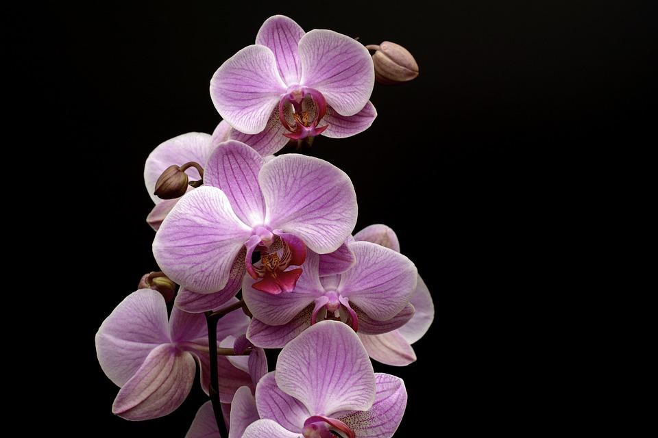 Orchidea, Fiore, Germoglio, Tropicale, Viola, Petalo