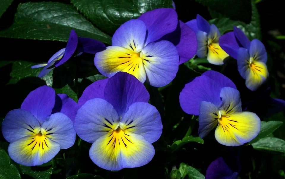 Flori Panseluţe Colorat Fotografie Gratuită Pe Pixabay