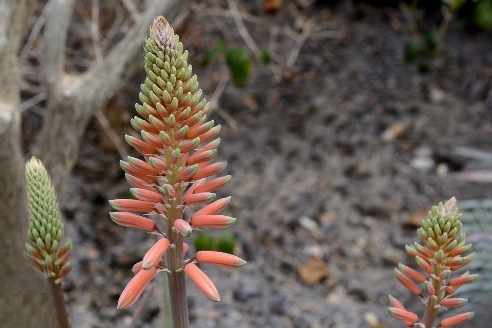 Aloe Vera Plant Blossom Free Photo On Pixabay