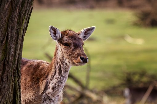 Natur, Rotwild, Hirschkuh, Wald, Tier