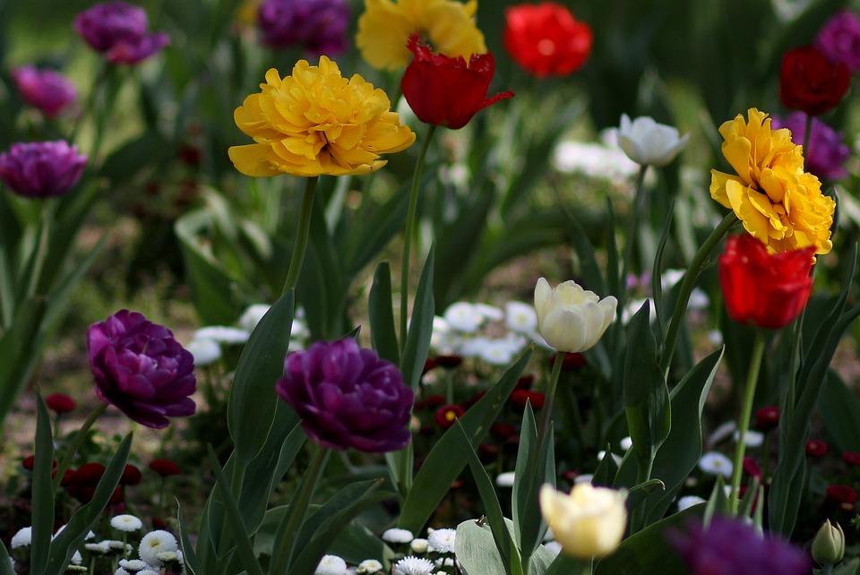Tulip Bunga Perbekalan Foto Gratis Di Pixabay