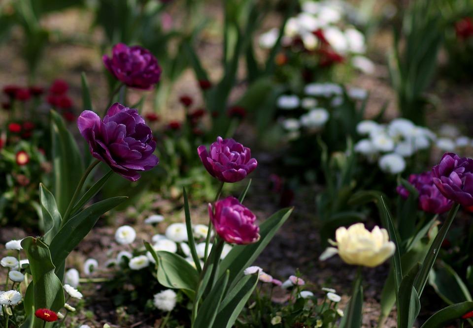 Tulipanes Flores Suministros Para · Foto gratis en Pixabay