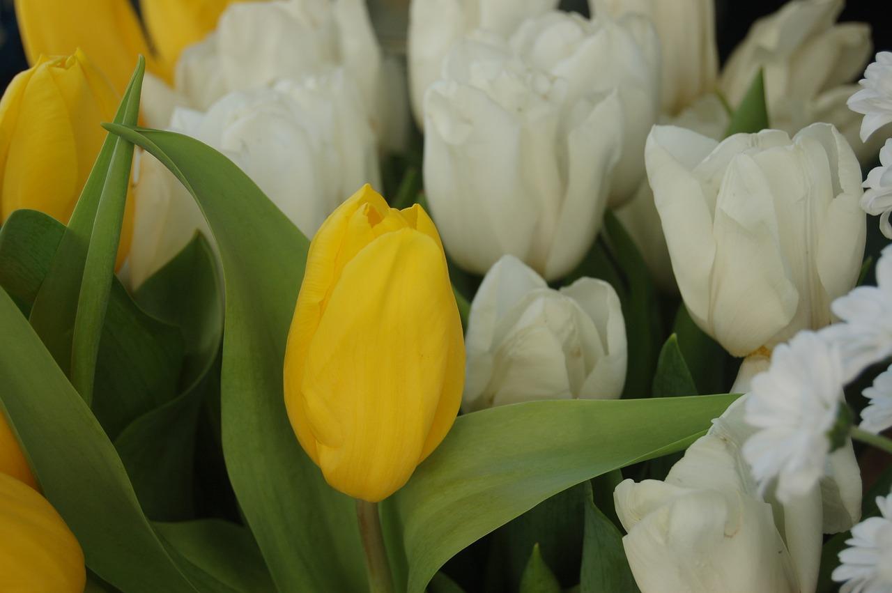 продажу частный лимонные тюльпаны фото для вас повара