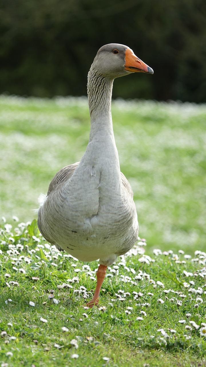 Free goose nude