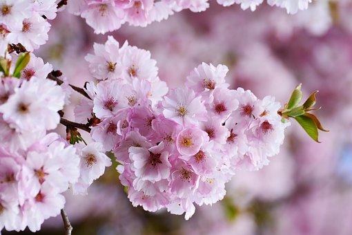 Japanese cherry blossom images pixabay download free pictures cherry blossoms japanese cherry trees mightylinksfo