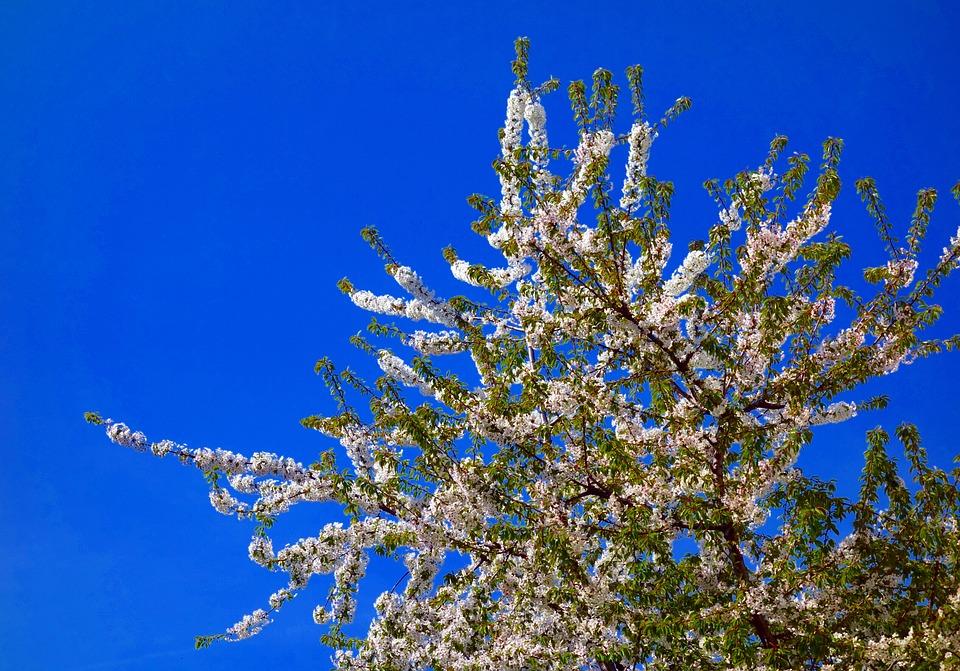 Natur Baum Kirschbaum · Kostenloses Foto auf Pixabay