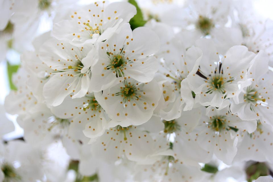 Blumen Weiß Baum · Kostenloses Foto auf Pixabay