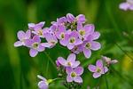 cuckoo kwiatów, polne, kitel