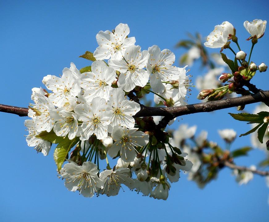 Flowering tree white flowers free photo on pixabay flowering tree white flowers spring mightylinksfo