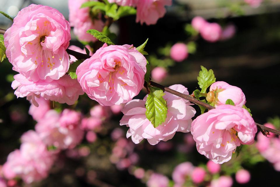 Almond Bush Pink Flowers Free Photo On Pixabay