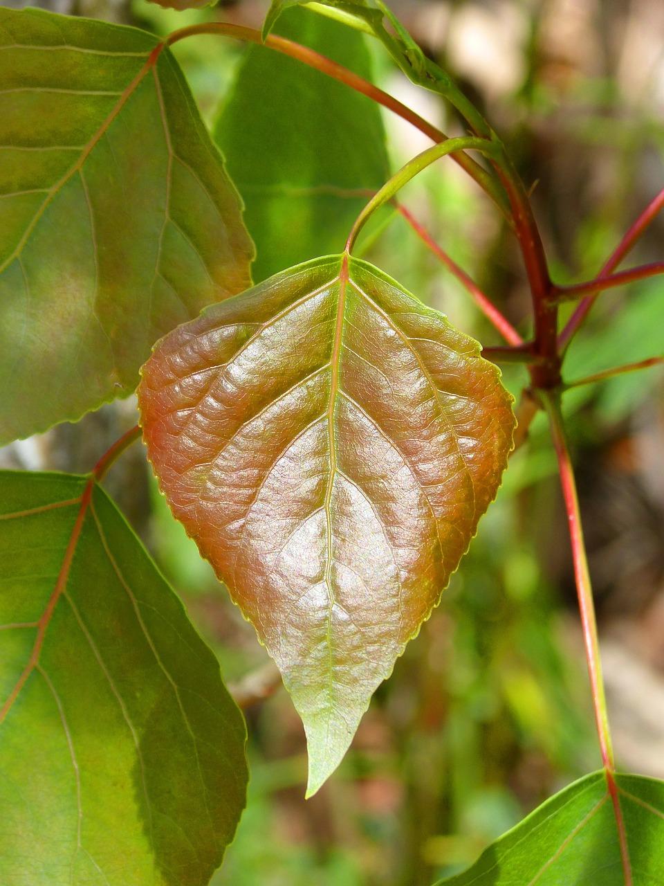 Вянущие листья тополя фото