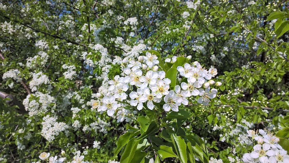 Baum Weiße Blüte Frühlings · Kostenloses Foto auf Pixabay