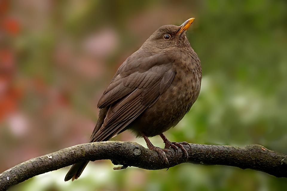 動物 鳥 ブラックバード つぐみ ...