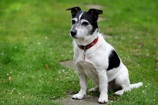 Animal, Dog, Jack Russell, Terrier
