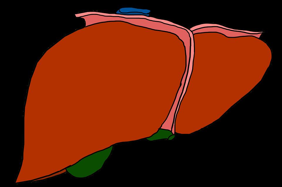 Hígado Órgano Anatomía · Imagen gratis en Pixabay