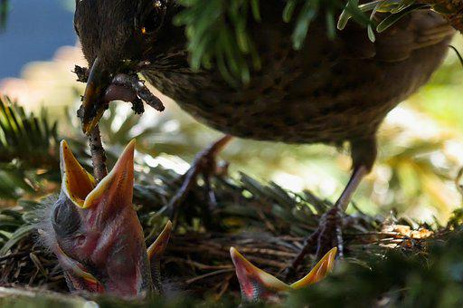 Bird, Nature, Animal, Blackbird, Nest